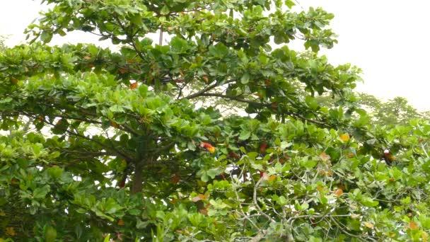 Strom plný papoušků Macaw ve Střední Americe během krmení