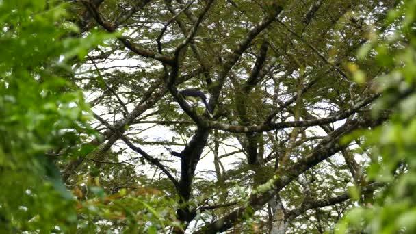 Černý hrudník Jay sedí ve velkém Panamean strom vzlétne
