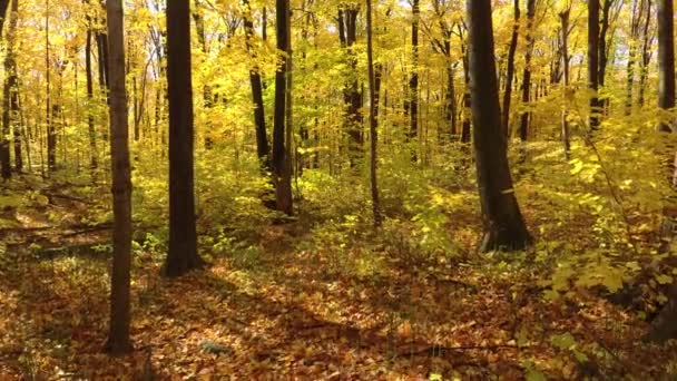 Advancing in a gliding motion thru brigh yellow fall forest of deciduous trees