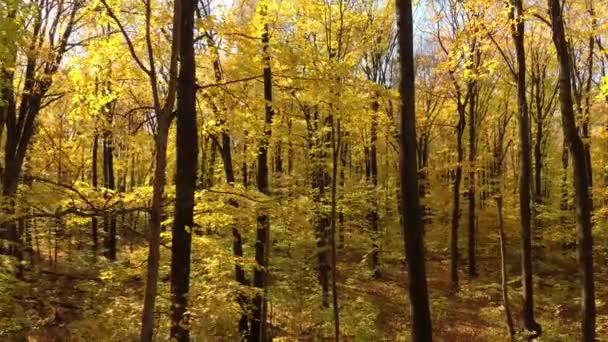Snící letecký dron záběr lesa na podzim se stromy ztrácí jeden list po druhém