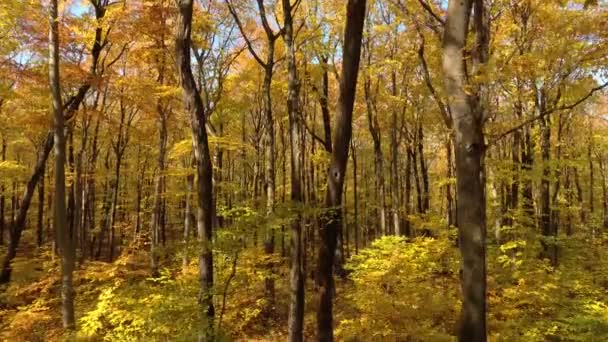 Downward motion shot of deciduous broadleaf trees changing colors in fall