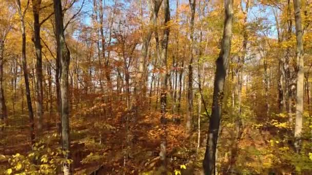 Drone flying up in forest colored by fall season before piercing thru canopy