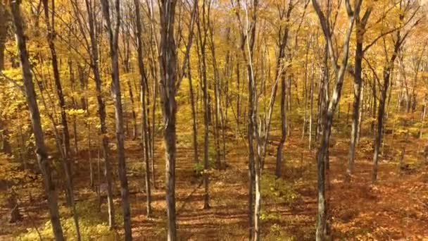Dreamy forest of trees in fall after their color change but before losing leaf