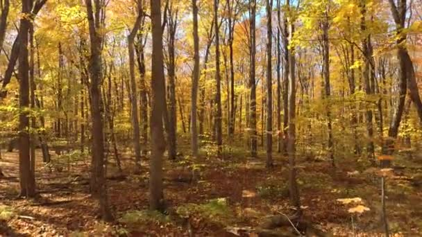 Aerial sequence filmed inside a forest within trees colored in fall shades