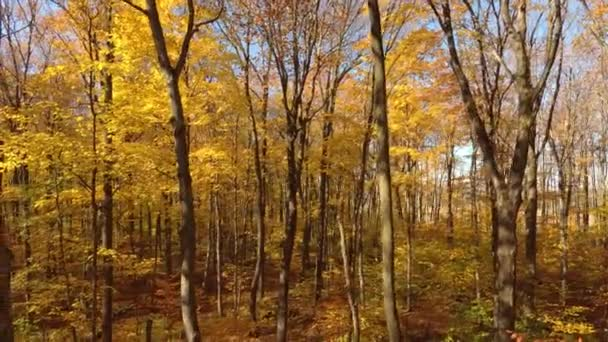 Drone moving down and on the side thru fall forest with broadleaf yellow trees