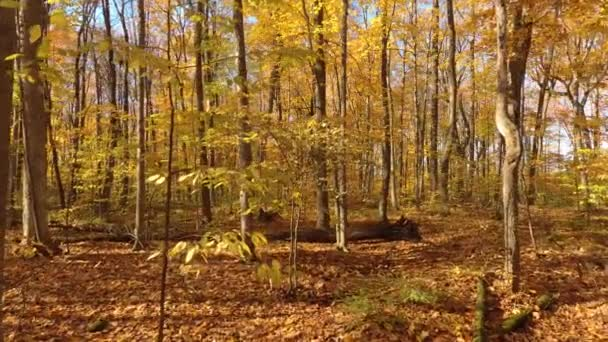 Drone going up and thru trees in a Canadian forest in fall with bright yellow leaves