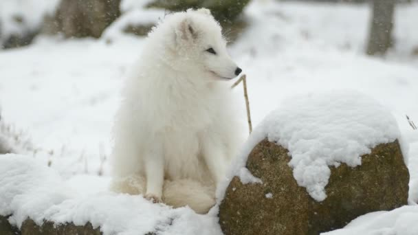 Barely noticeable arctic fox has white fur to hide in white snow