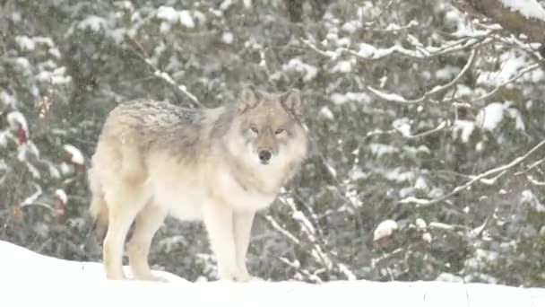 Beautiful and powerful grey wolf atop a hill walking a short distance in the snow