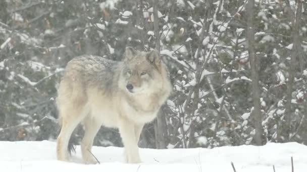 Šedý vlk kráčí před zastavením vyšetřovat během pěkného sněhu