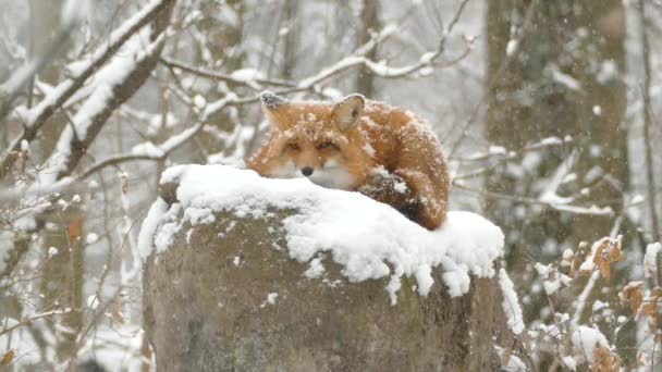 Red fox in the snow relaxing while surveilling from an above point of view