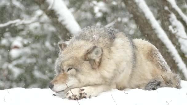 Szoros farkas felemelése és pihentető nagy szőrös fej alvás közben ki a hóesésben