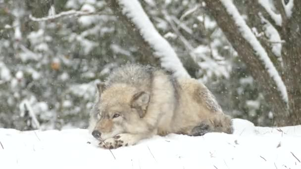 Šedý vlk se probouzí, ale nezvedá hlavu během sněžení v Severní Americe