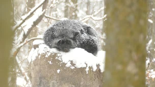 unwirklich spezielle Art von Fuchs namens Silberfuchs, der auf einem Felsen unter Schneefall liegt