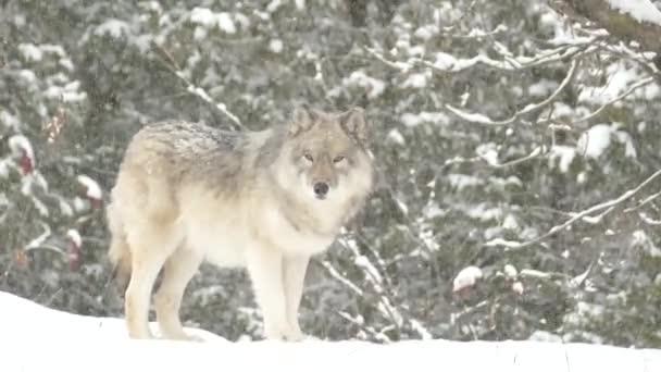 šedý vlk v chladné zimní krajině