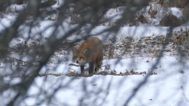 Fox viewed through branches in winter with light snow on the ground - HD 24fps