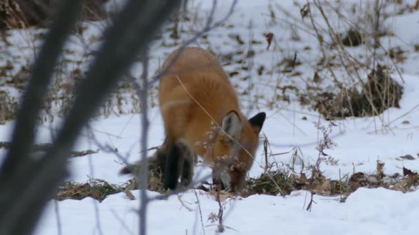 Canadian winter scenery with fox sniffing the ground with its muzzle - HD 24fps