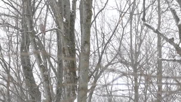 Very slow pan shot of Barred Owl perched in deciduous forest in winter - HD 24fps