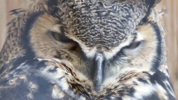 Velká rohatá sova Bubo virginianus zavírající a otvírající oči