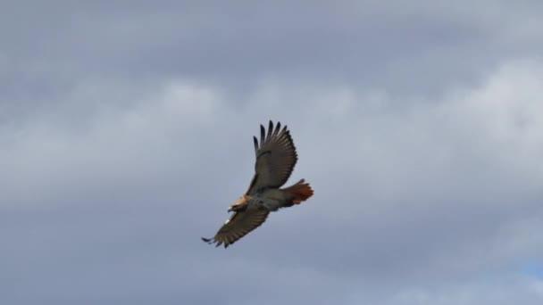 Vörös farkú Sólyom repül körbe-körbe a felhők