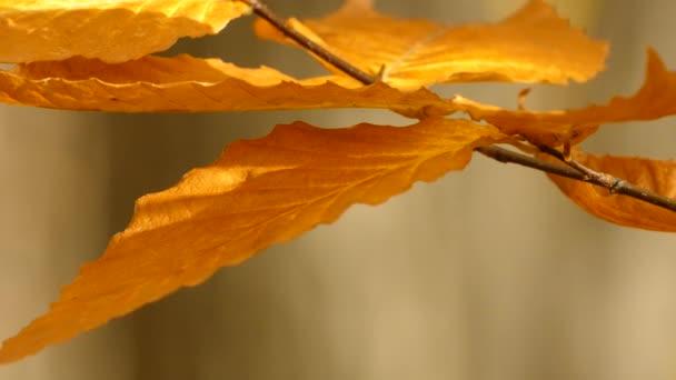 Crisp bright yellow autumn leaf in medium wind during fall in woodlands
