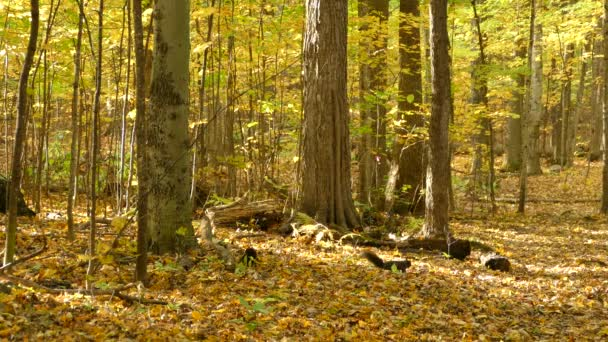 A black squirrel forages in a yellow forest