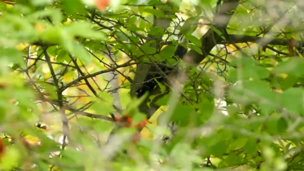 Pileated woodpecker hop through leafy branches