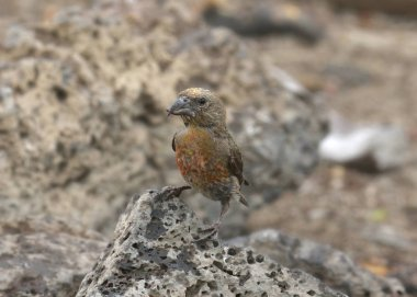 Red Crossbill (1st year) (loxia curvirostra)