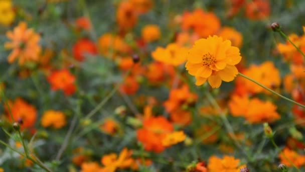 selective focused Yellow cosmos