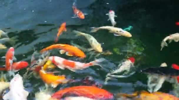 Barevné Koi ryb plavání