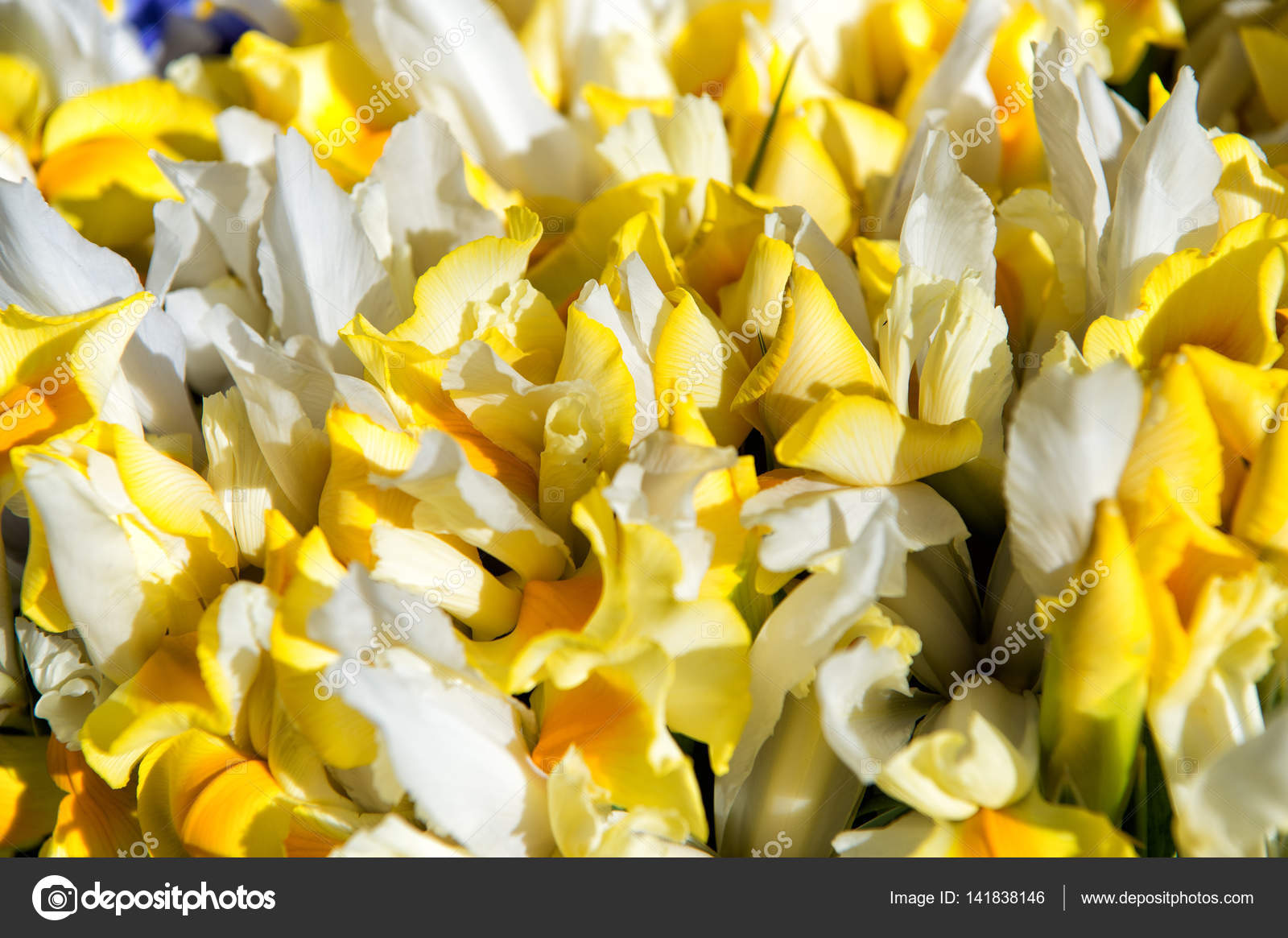 Beautiful Flowers Yellow Color As Natural Background Stock Photo