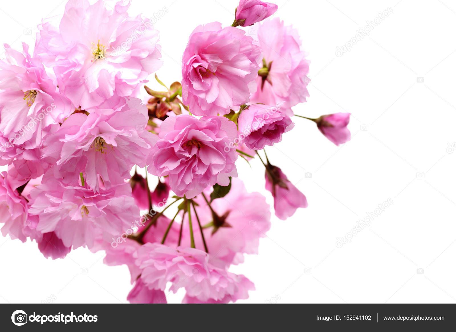Fleurs De Sakura Rose Fleur De Cerisier Isol S Sur Fond Blanc