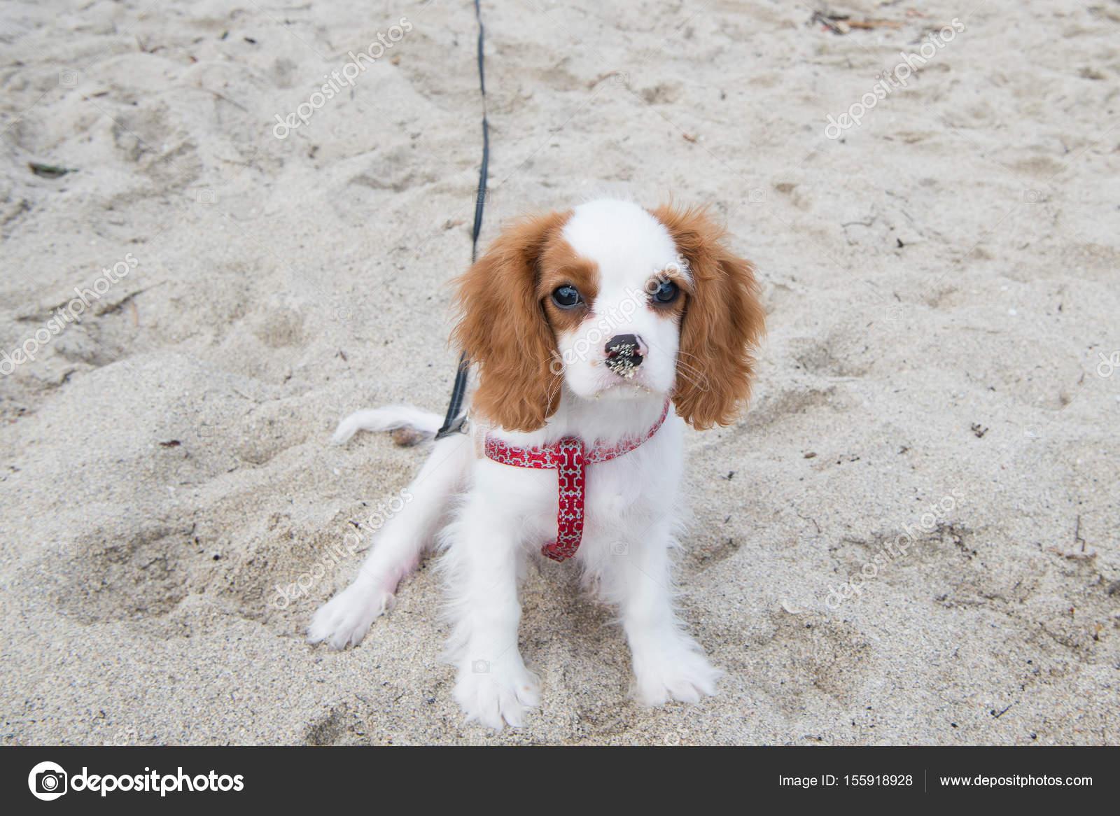 fc32895760c štěně psa nebo kavalír king charles Španěl — Stock Fotografie ...