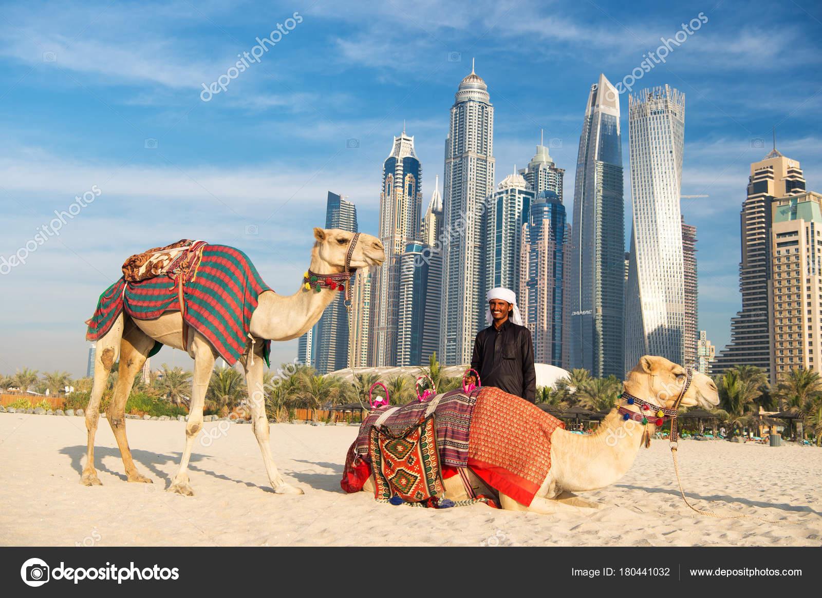 Dubai uae december 2017 camels skyscrapers background beach uae dubai uae december 2017 camels skyscrapers background beach uae dubai stock photo thecheapjerseys Choice Image