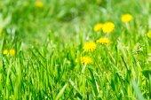 Fiori di tarassaco con fiore giallo su erba verde