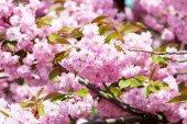 Fotografie Cherry tree blossoming on sunny day on floral background