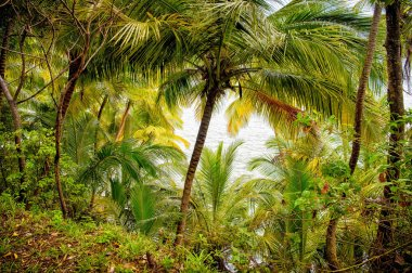 Jungle forest in devils island, french guinea. Rainforest with green palm trees at sea side. Nature environment and ecology. Summer vacation in tropic