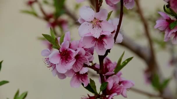 ág tele virágzó gyönyörű őszibarack rózsaszín virágok elmosódott háttér közelkép