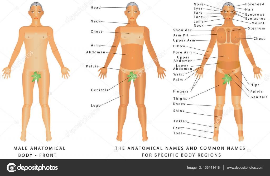 Cuerpo masculino - frente — Archivo Imágenes Vectoriales © anutuno ...