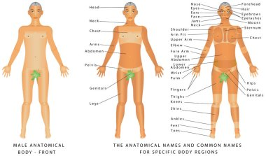 Male body - Front