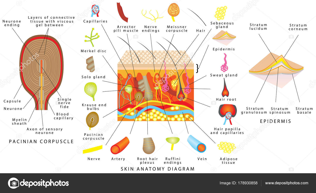 Skin Anatomy Diagram Sensory Receptors Skin Human Skin Detailed