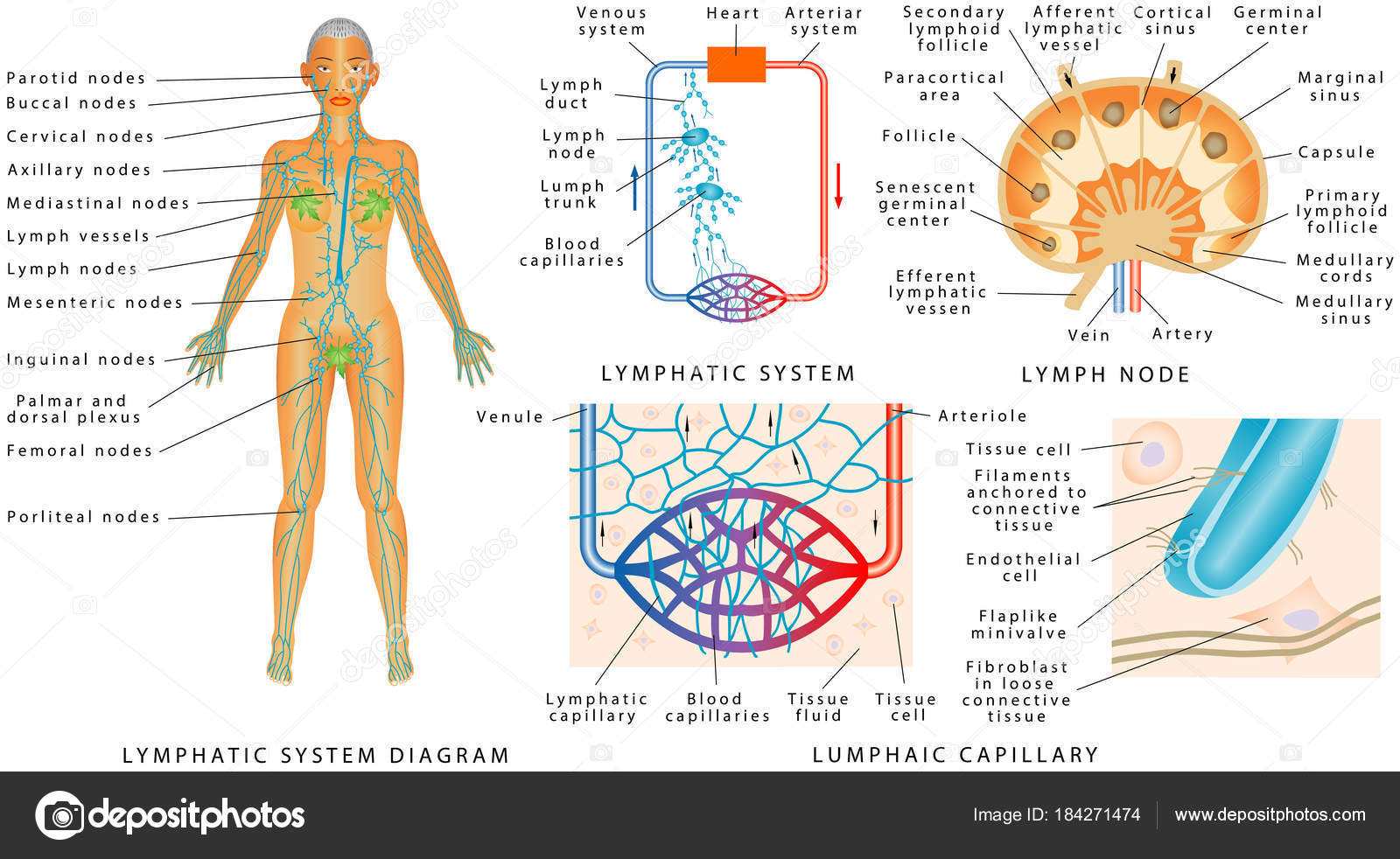 Lymphatic System Lymphatic Diagram Human Structure Lymph Node Organ