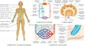 Sistema linfatico - linfatica diagramma nellessere umano. Struttura di un linfonodo - organo del sistema linfatico. Fluido di scambio tra il sistema circolatorio e il sistema linfatico.