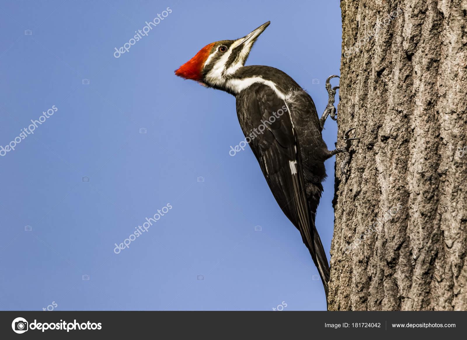 Μεγάλο πουλί διογκωμένο