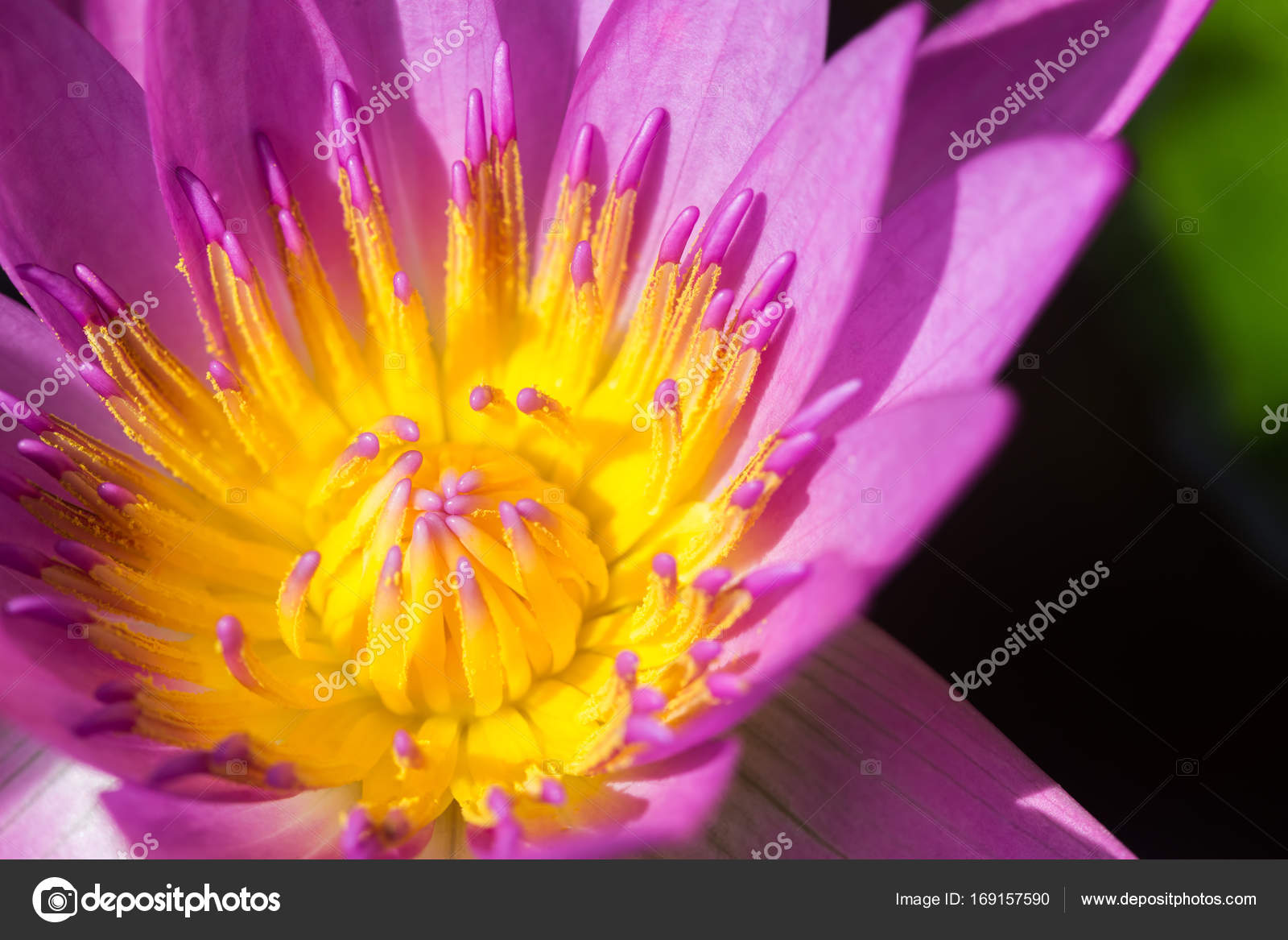Purple lotus flower or water lily flowers stock photo purple lotus flower or water lily flowers stock photo izmirmasajfo