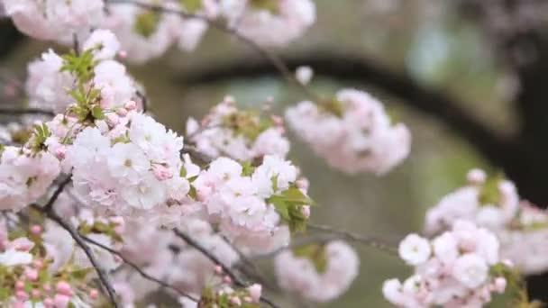 Természet háttérrel cseresznyevirág, Sakura szezon Japánban.