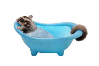 Suger glider soaking in blue bathtub on white background.