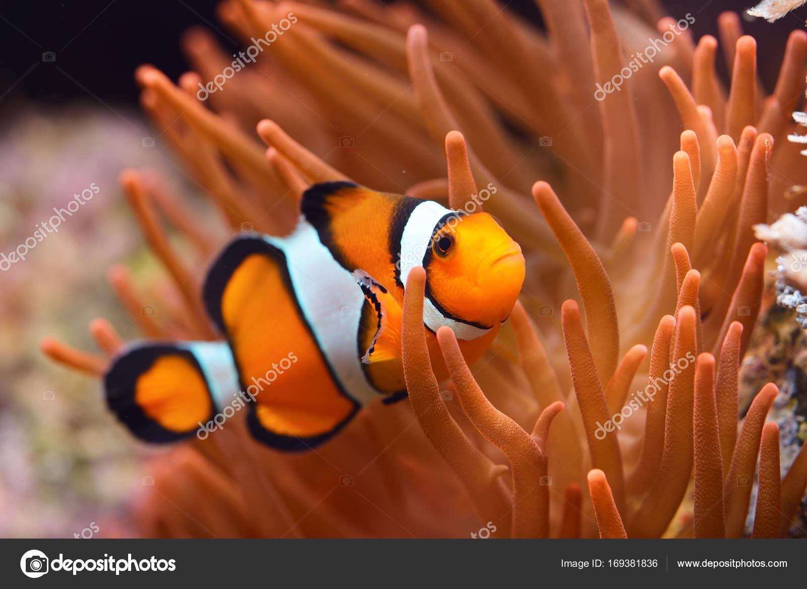 Amphiprion ocellaris pesce pagliaccio in acquario marino for Pesce pagliaccio foto