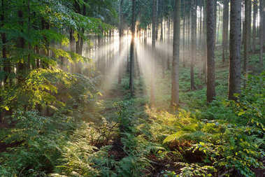 Sun rays in a fog in a misty forest