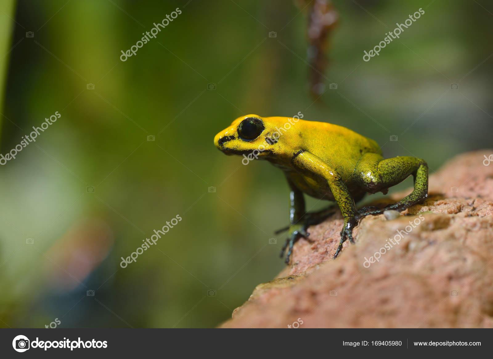 golden poison arrow frog stock photo alex stemmer 169405980
