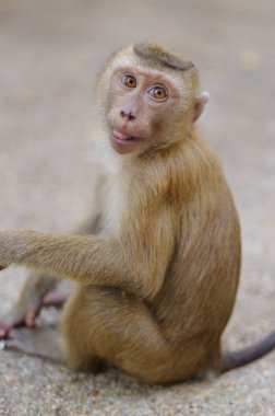 young macaca monkey sitting on stone playing with somthing in his hands.